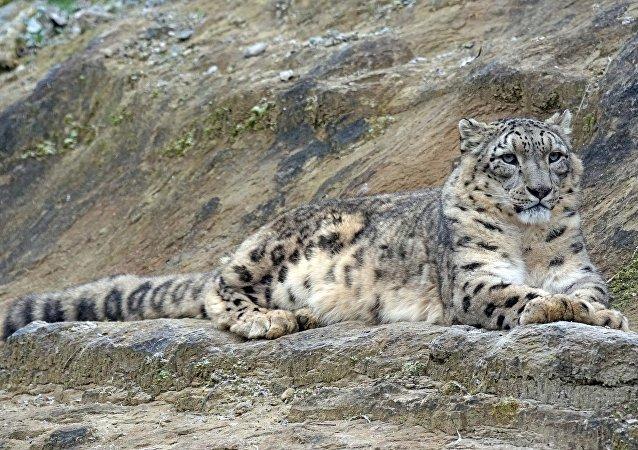 Leopardo de las nieves (irbis)