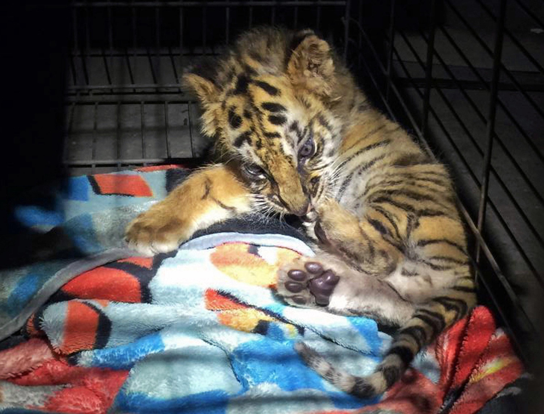 Un tigre confiscado en la frontera de México con EEUU