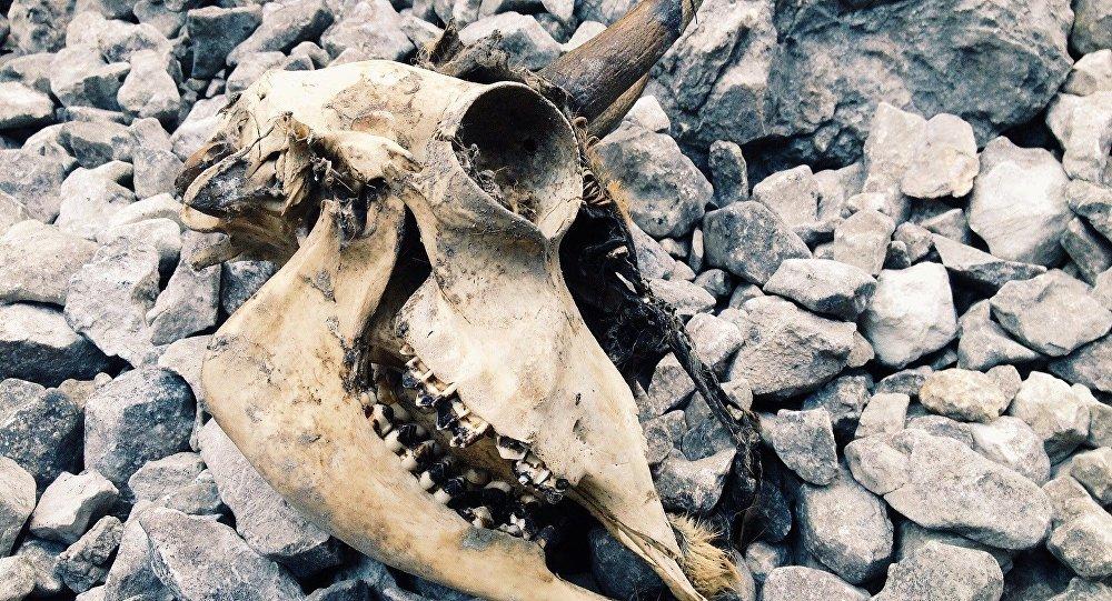 Cráneo de un animal (imagen referencial)