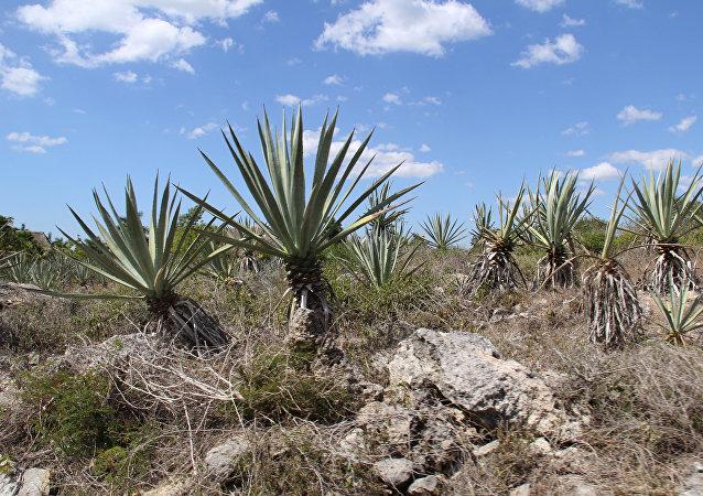 Plantas de henequén (imagen referencial)