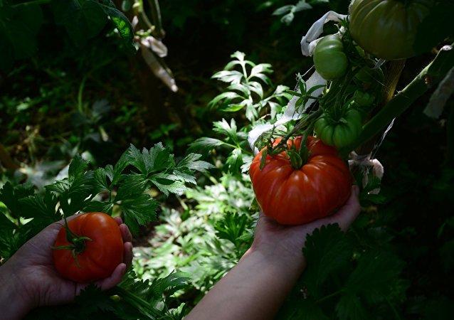 Cultivo de tomates en invernaderos de la región de Moscú