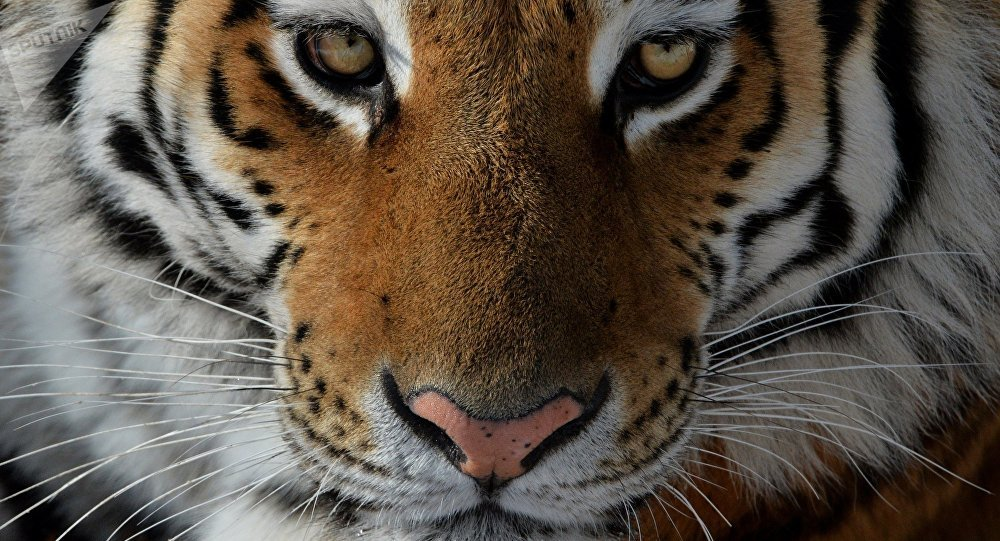 Un tigre suelto en las calles de Atlanta (fotos) - Sputnik ...