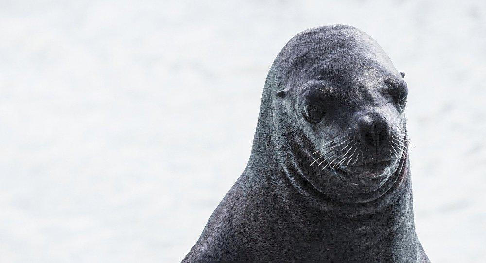 Hallan a lobo marino amarrado a un árbol en Ecuador