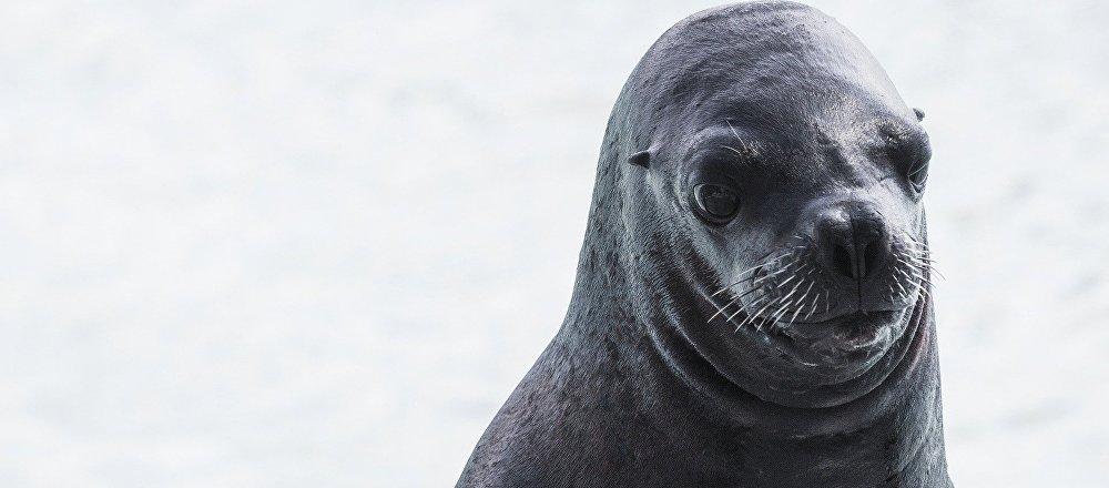 Un lobo marino (archivo)