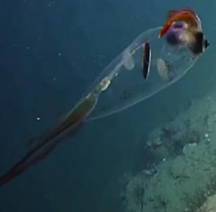 Este calamar translúcido te robará el corazón