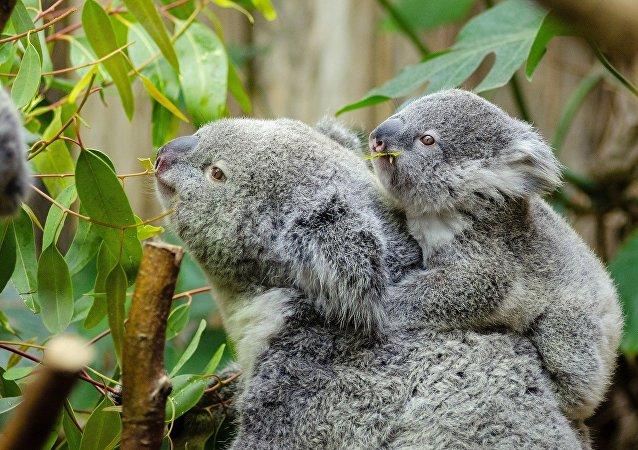 Un koala y su cría