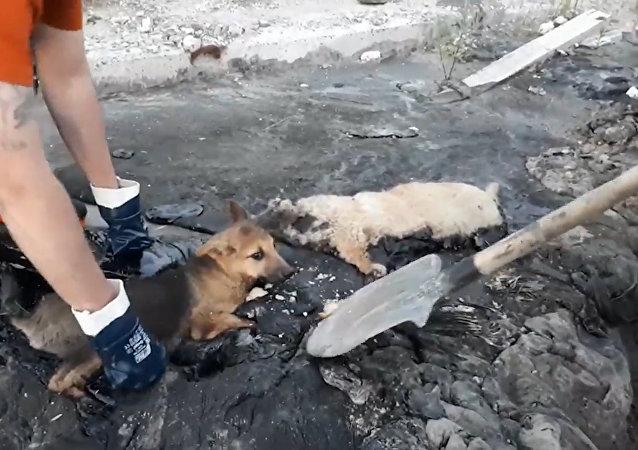 La emocionante historia de tres cachorros rescatados de un pozo de alquitrán