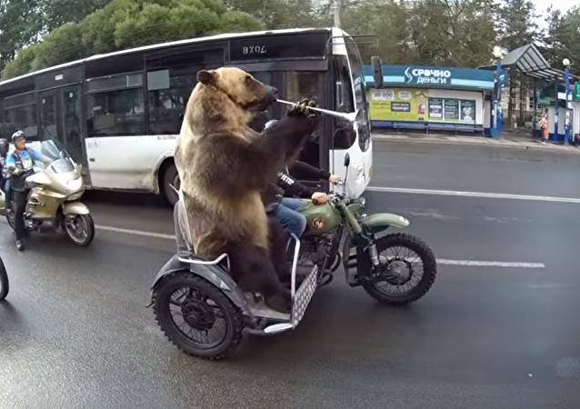 Mientras tanto, en Rusia: un oso recorre la ciudad de Vologda en sidecar