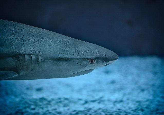Un tiburón (archivo)