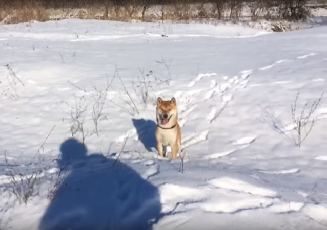 El perro Stiv, rumbo a la fama panrusa por su 'fiasco'