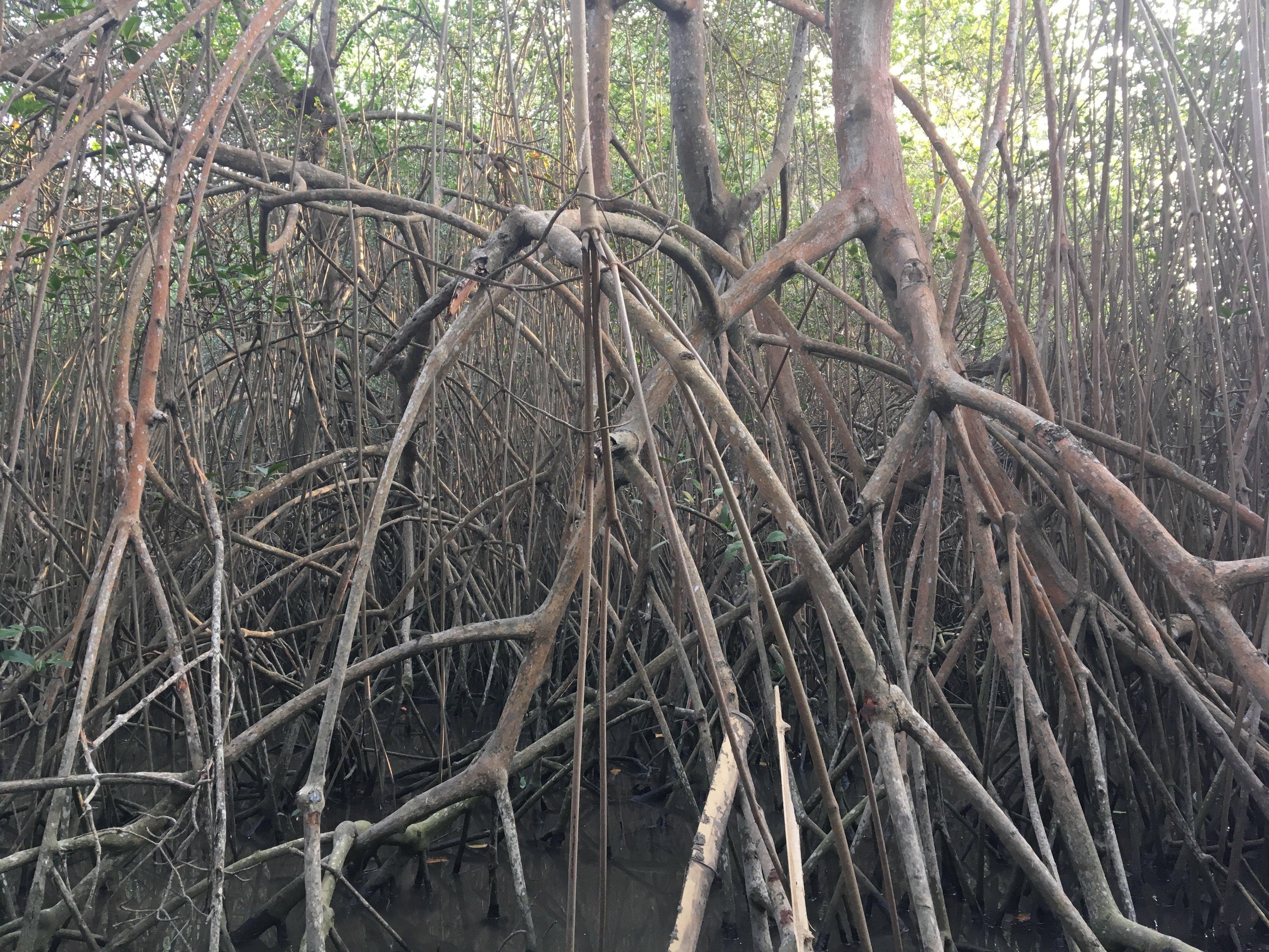 Vista del manglar por dentro, donde la comunidad Las Gilces construye un sendero ecológico para reactivar su economía