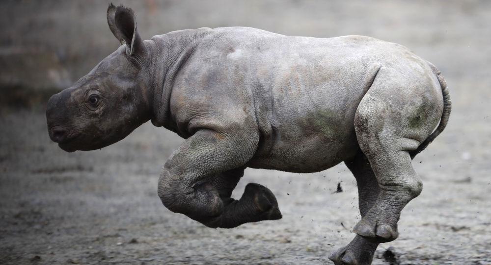 Una cría de rinoceronte (imagen referencial)
