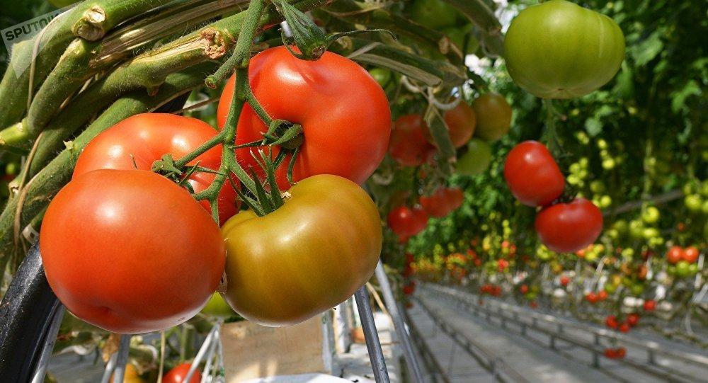 Cultivo de tomates (archivo)