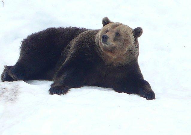 Un oso sobre la nieve (imagen referencial)