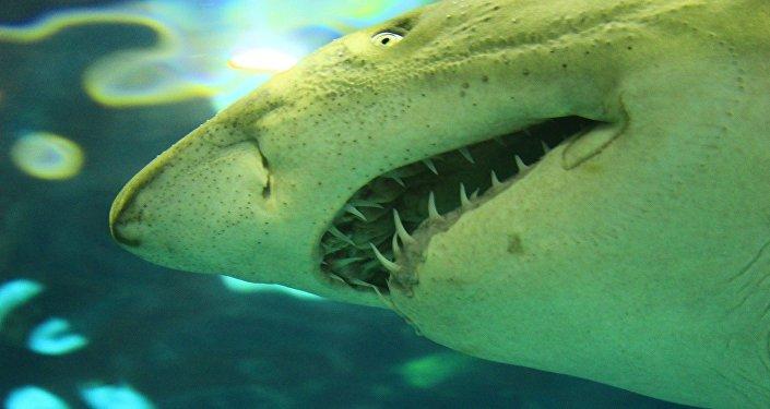 Un tiburón (imagen referencial)