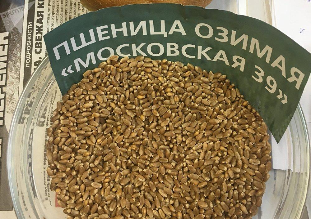 La variedad de trigo Moskovski 39