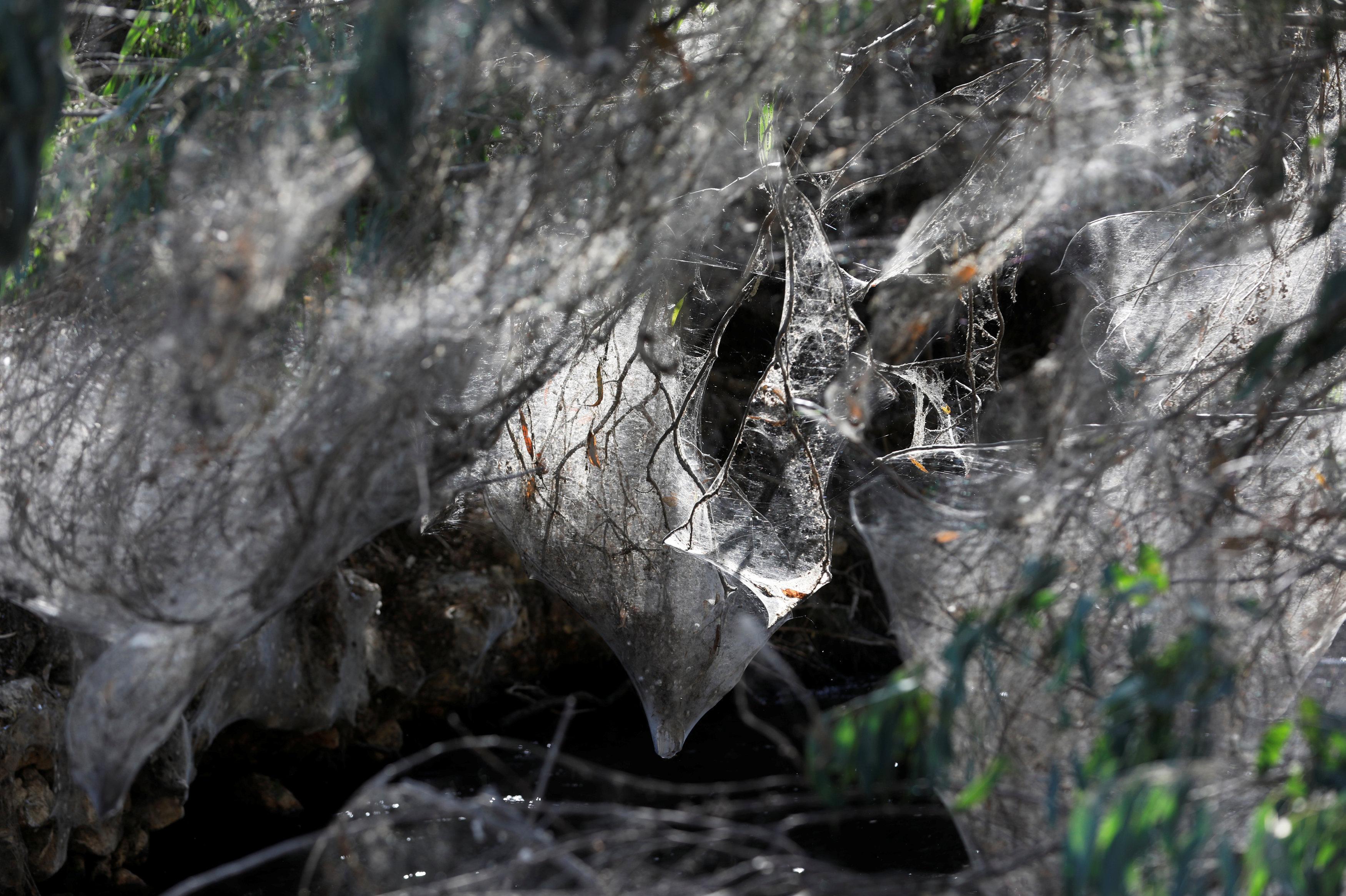 Invasión de arañas en un bosque israelí