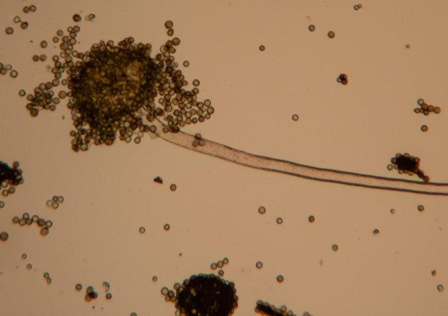 Un hongo bajo microscopio