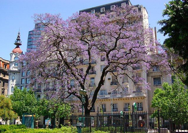 Un árbol de jacarandá en Buenos Aires
