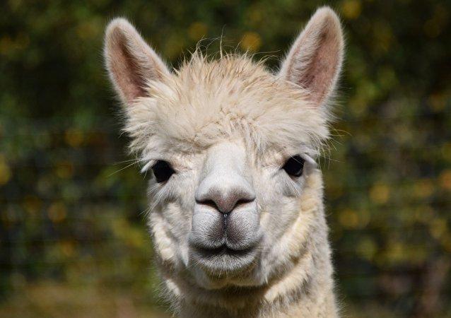 Una alpaca (archivo)