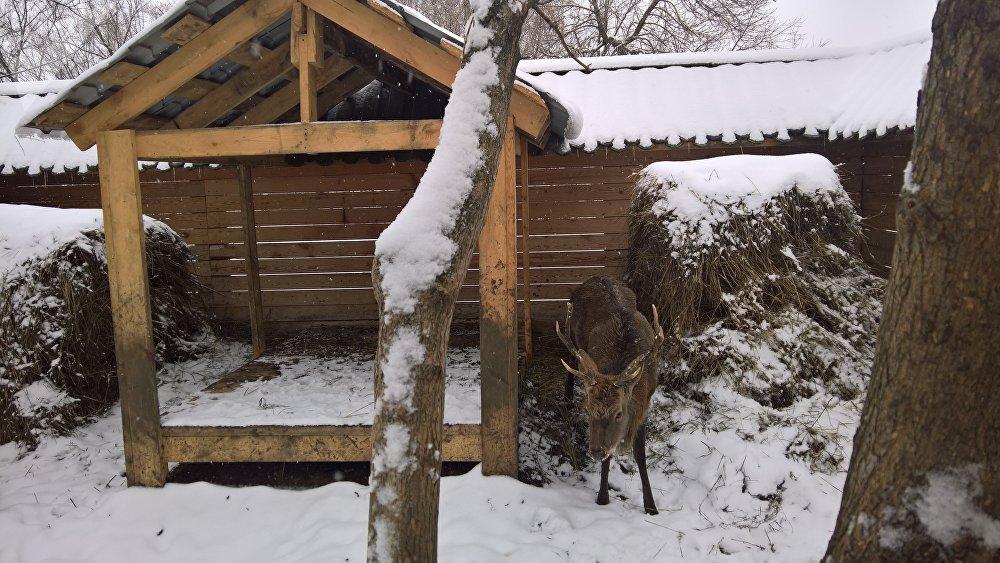El ciervo de Altái