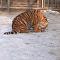 El 'aburrido' desayuno de tigres que cautiva las redes
