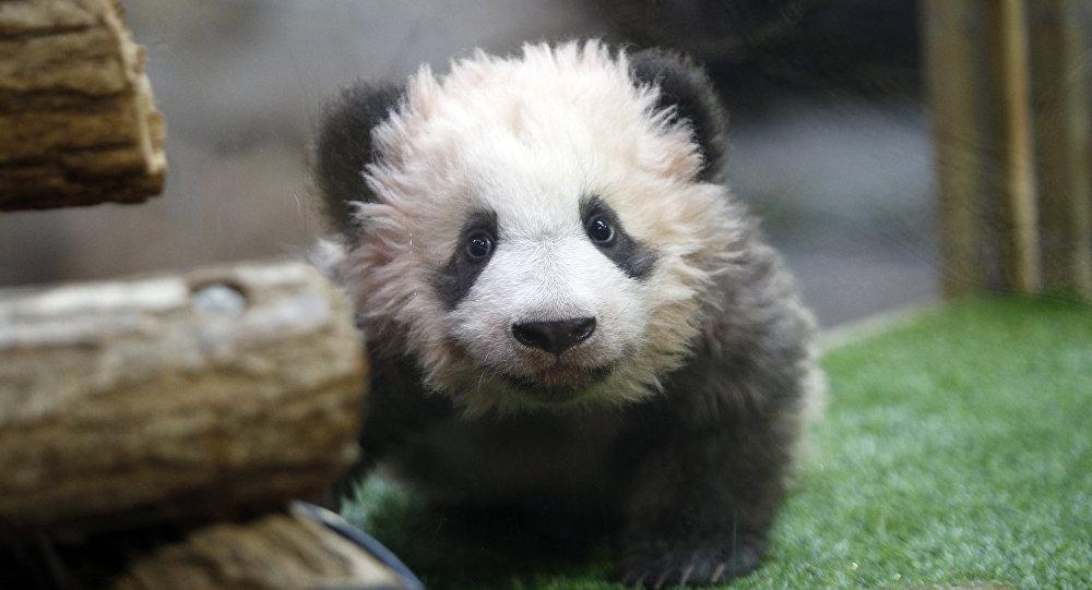 El bebé panda, llamado Yuan Meng, nombre que significa Sueño hecho realidad