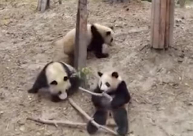 Un panda cae de un árbol e interrumpe el sexo de otros dos