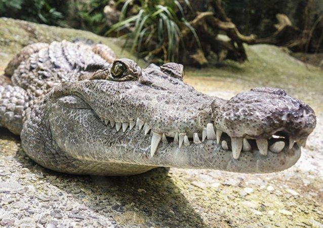 Un aligátor (imagen referencial)