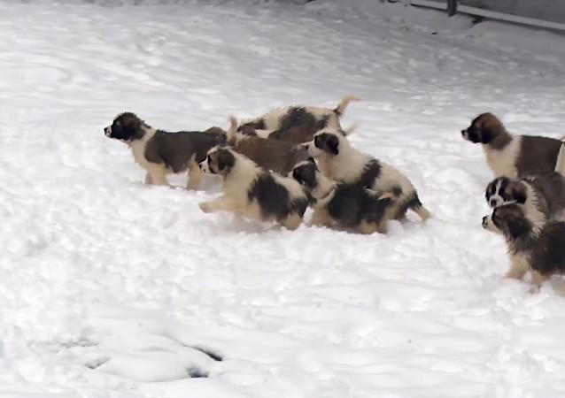 El Ministerio de Defensa de Rusia felicitó a los ciudadanos con motivo de la llegada del año nuevo publicando un vídeo de sus cachorros