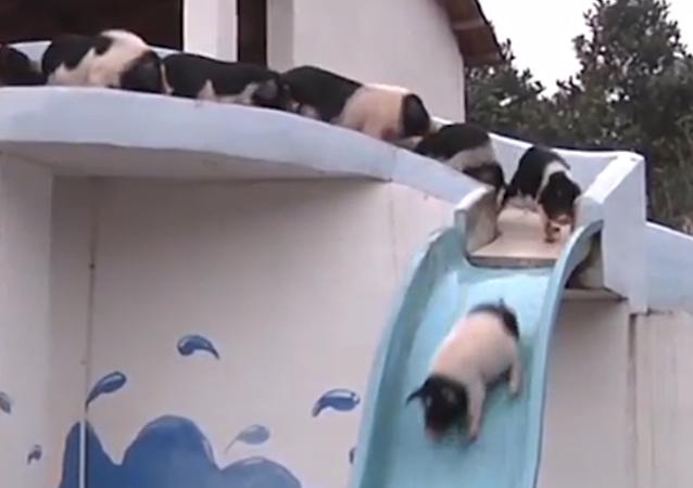 Parque acuático para lechones: cómo un chino entretiene a sus mascotas