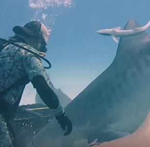 ¡Qué tierno! Buceadores alimentan a mano a una hembra de tiburón embarazada