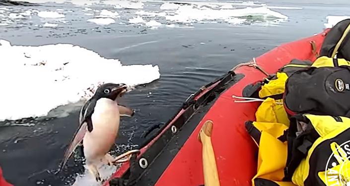 Un pingüinito toma al asalto una lancha de investigación australiana
