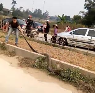 Una cobra gigante detiene el tráfico en Vietnam