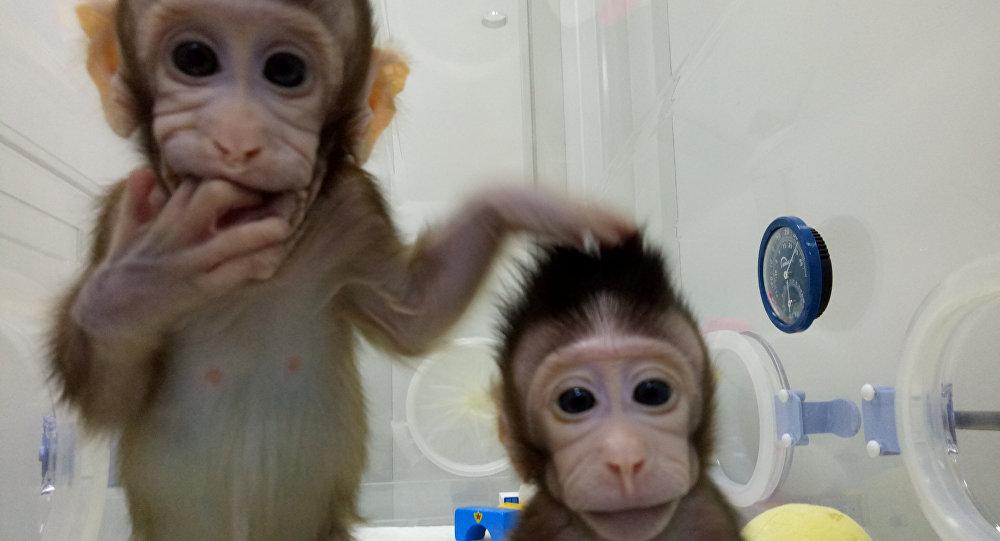 Monos cloneados, Shanghái, China