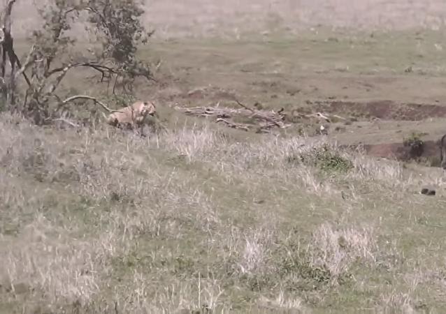 La ingeniosa estrategia de unas leonas para atacar a un búfalo