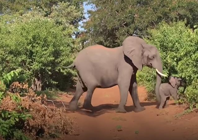 Un elefante toma por asalto un vehículo de turistas en África