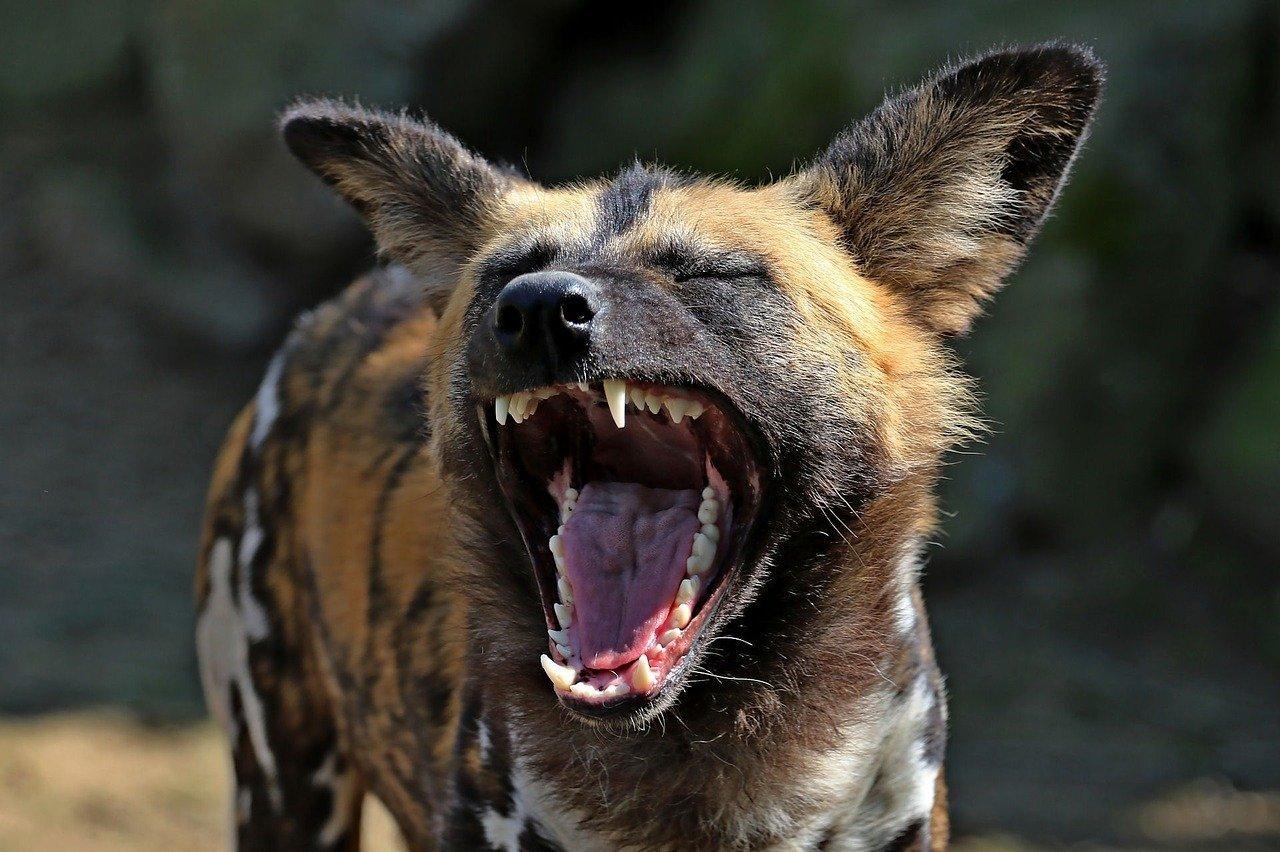 Emiten toda una gama de diversos gritos, de los que el más conocido es una especie de ladrido sarcástico característico que recuerda a la risa humana