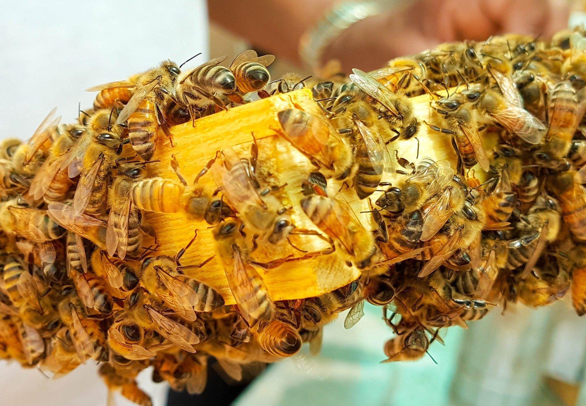 Las abejas no sólo viven alrededor de una reina, sino que casi toda su población está compuesta por hembras. El macho, mientras tanto, tienen un fin meramente reproductivo y, tras completar su función, muere.