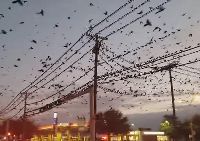 Un nubarrón de pájaros 'apocalíptico' se cierne sobre Texas