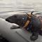 Las focas marinas, al servicio de las FFAA de Rusia