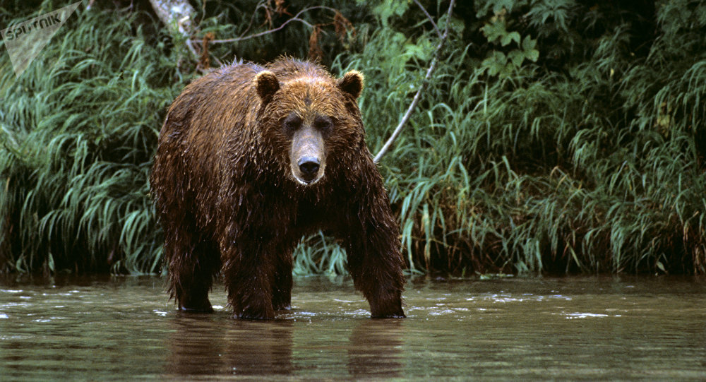 Un oso del Lejano Oriente de Rusia