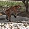 ¡Cuidado!: un tigre de Amur casi cae a través del hielo