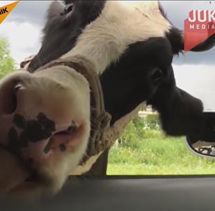 Una vaca lamiento un coche