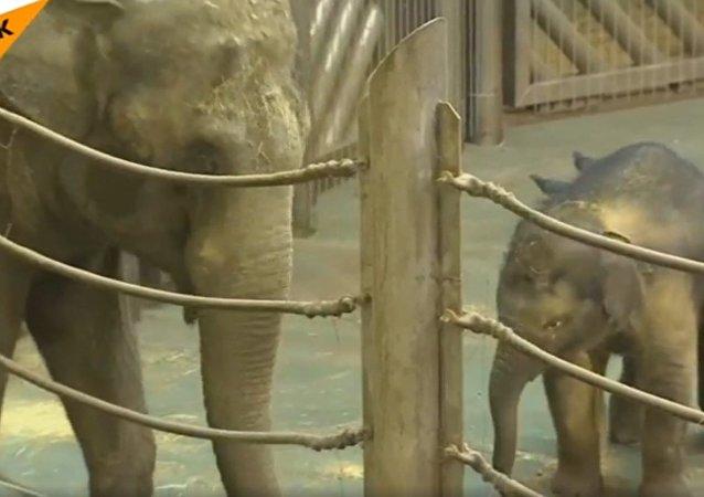 Un pequeño elefante juega y se baña en el zoológico de Moscú