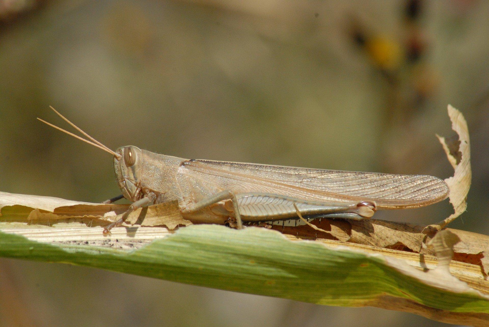 Chapulin insecto