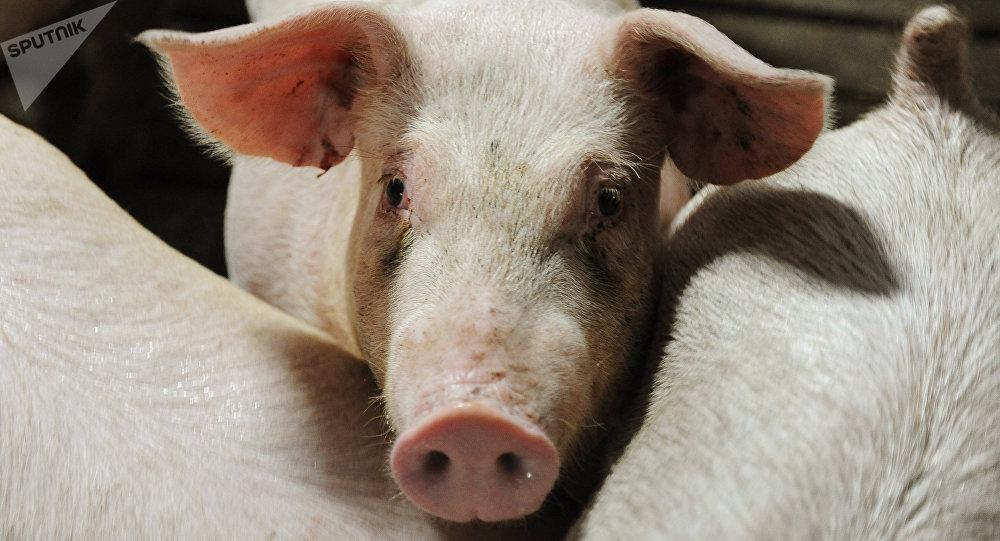 Cerdos (imagen referencial)