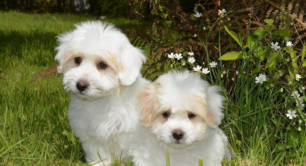 Perros Coton de Tulear