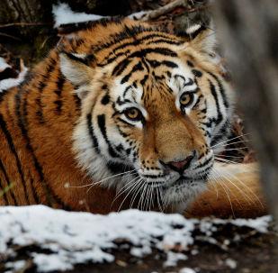 El tigre de Amur