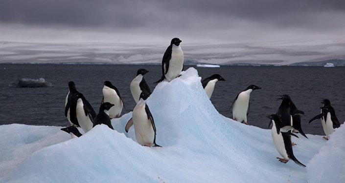 Pingüinos Adelia